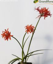 Nerine sarniensis