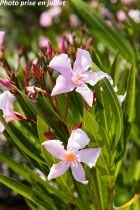 Nerium oleander Rose simple
