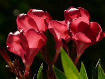 Nerium oleander Rouge simple