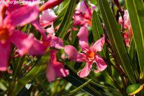 Nerium oleander Saumon simple