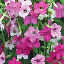 Nicotiana mutabilis rose et blanc