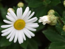 Nipponanthemum (Chrysanthemum) nipponicum