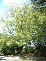 Noyer \'Franquette\' ou Juglans \'Franquette\' donnant des noix en août-septembre.