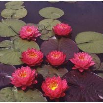 Nymphaea \'Fire Opal\'