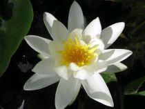 Nymphaea \'Pygmaea Alba\'
