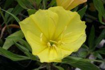 Oenothera macrocarpa \'Missouriensis\' (jaune d\'or)