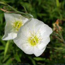 Oenothera speciosa \'Alba\'