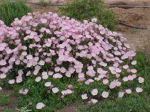 Oenothera speciosa \'Siskiyou\'