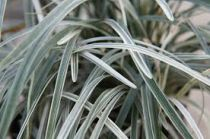 Ophiopogon japonicus \'Silver Dragon\'