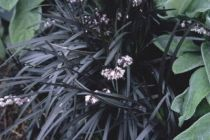 Ophiopogon planiscapus \'Black Dragon\'
