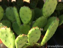 Opuntia humifusa