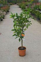 Oranger ou Citrus sinensis, agrume à floraison blanche très parfumée et à feuillage persistant.