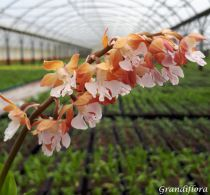 Orchidée vivace - Calanthe discolor