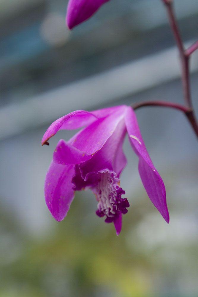 emejing orchidee de jardin bletilla striata contemporary. Black Bedroom Furniture Sets. Home Design Ideas
