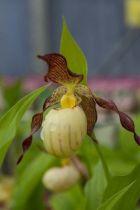 Orchidée vivace Cypripedium \' Inge \'