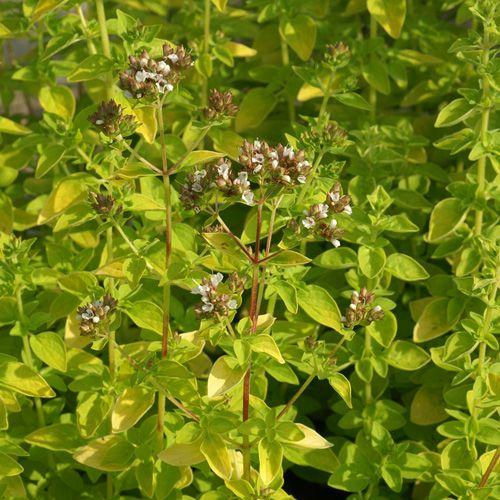 Origanum* vulgaris \'Aureum\'
