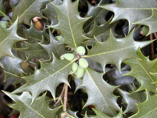 Osmanthus*  heterophyllus \'Aquifolium\'