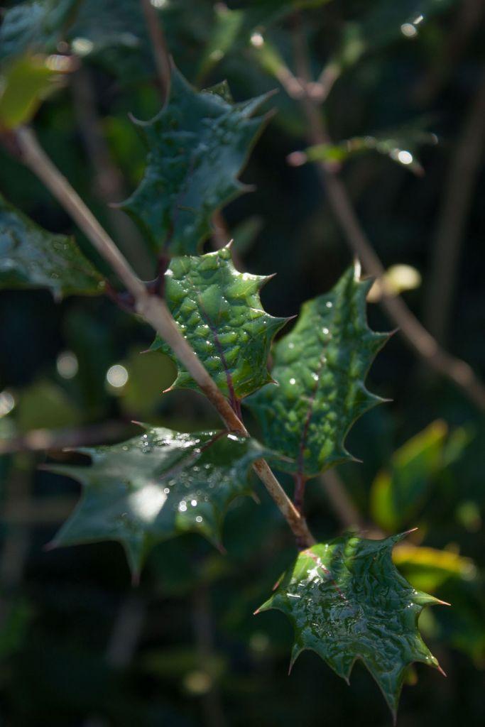 Osmanthus*  heterophyllus \'Purpureus\'