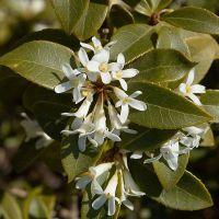 Bel arbuste persistant au feuillage vert et aux fleurs blanches parfumées en fin d'hiver début de printemps.
