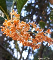 Osmanthus fragrans \'Rubra\'