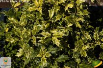 Osmanthus heterophyllus \'Goshiki\' = \'Tricolor\'