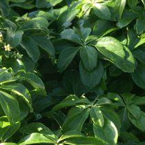 Pachysandra terminalis \'Green Sheen\'