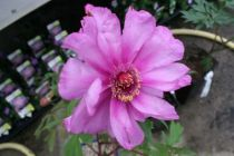 Paeonia itoh \'First Arrival\'