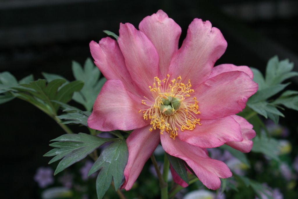 Paeonia itoh \'Julia Rose\'