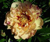 Paeonia itoh \'Lollipop\'