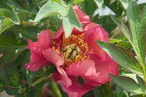 Paeonia itoh \'Old Rose Dandy\'