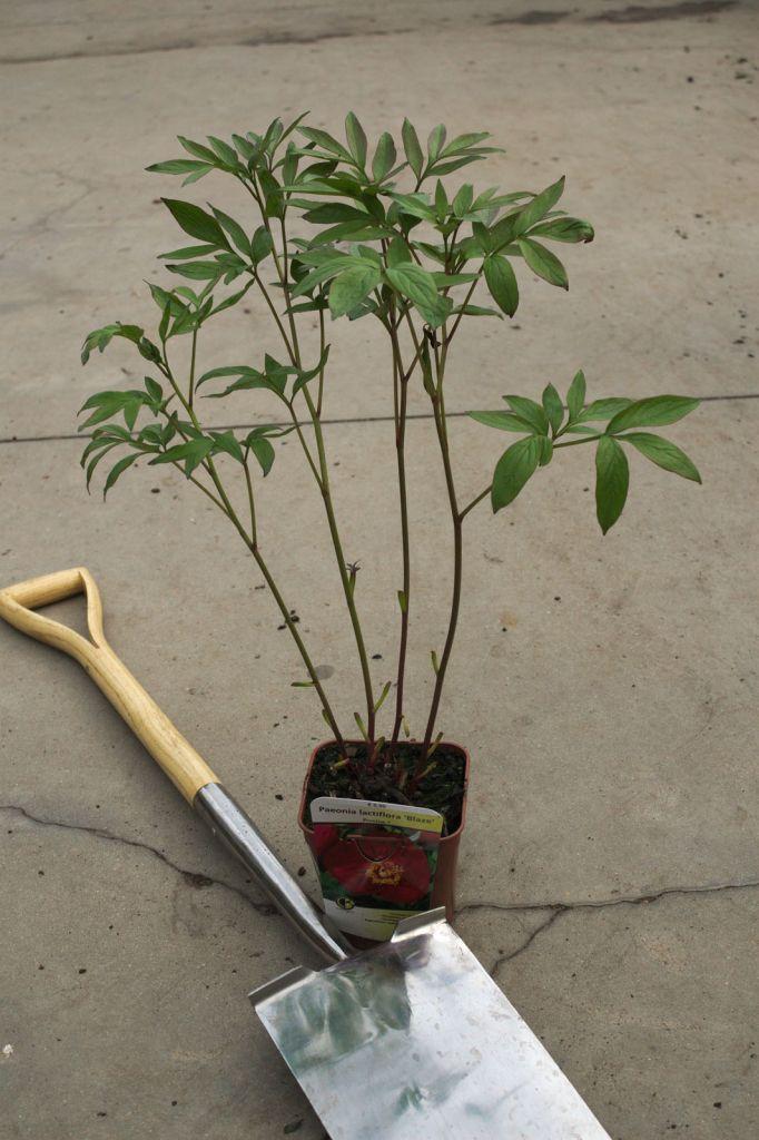 Paeonia lactiflora \' Blaze \'