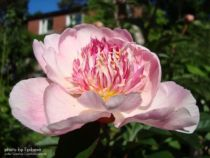 Paeonia lactiflora \' Do Tell \'