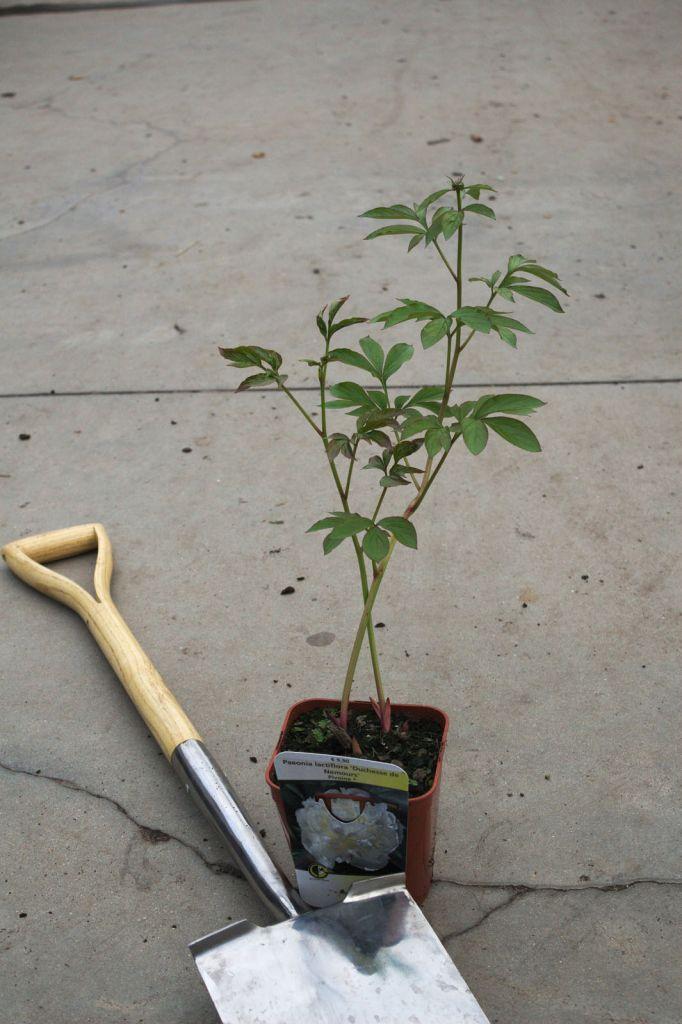 Paeonia lactiflora \' Duchesse de Nemours \'