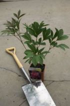 Paeonia lactiflora \' Edulis Superba \'