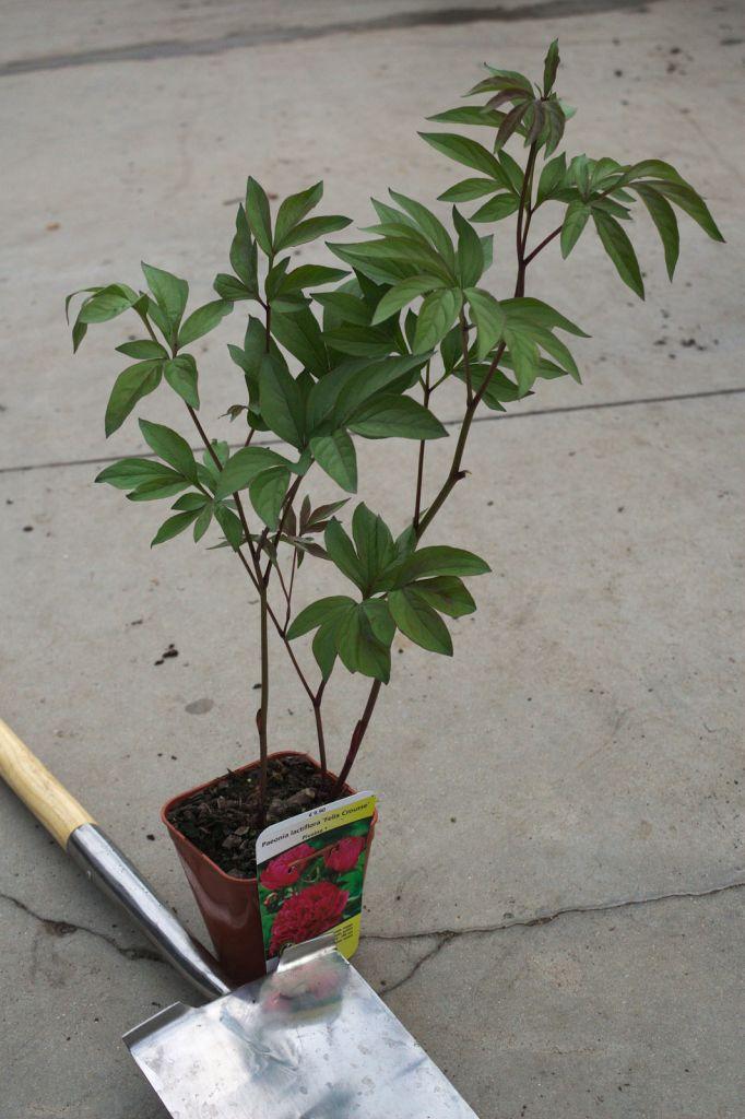 Paeonia lactiflora \' Felix Crousse \'
