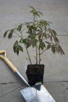 Paeonia lactiflora \' Festiva Maxima \'