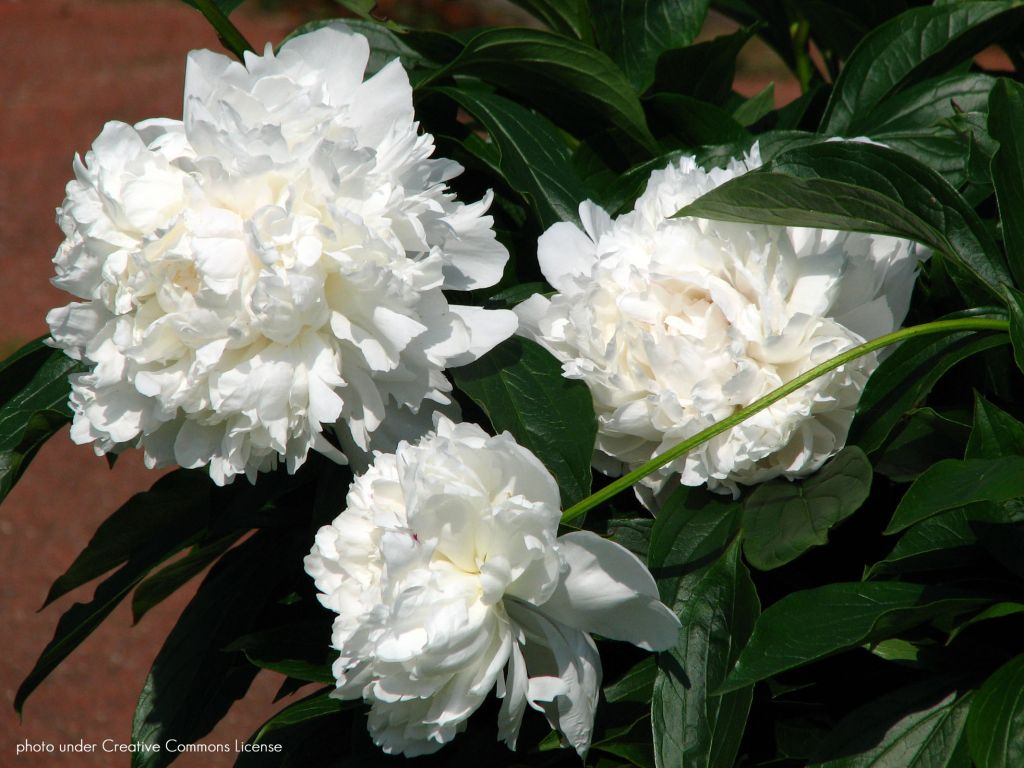 Paeonia lactiflora \' Festiva Maxima \', vivace à feuille verte caduc a fleurs blanche au printemps.