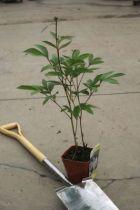 Paeonia lactiflora \' Immaculée \'