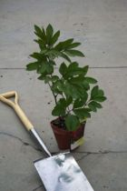Paeonia lactiflora \' Inspecteur Lavergne \'