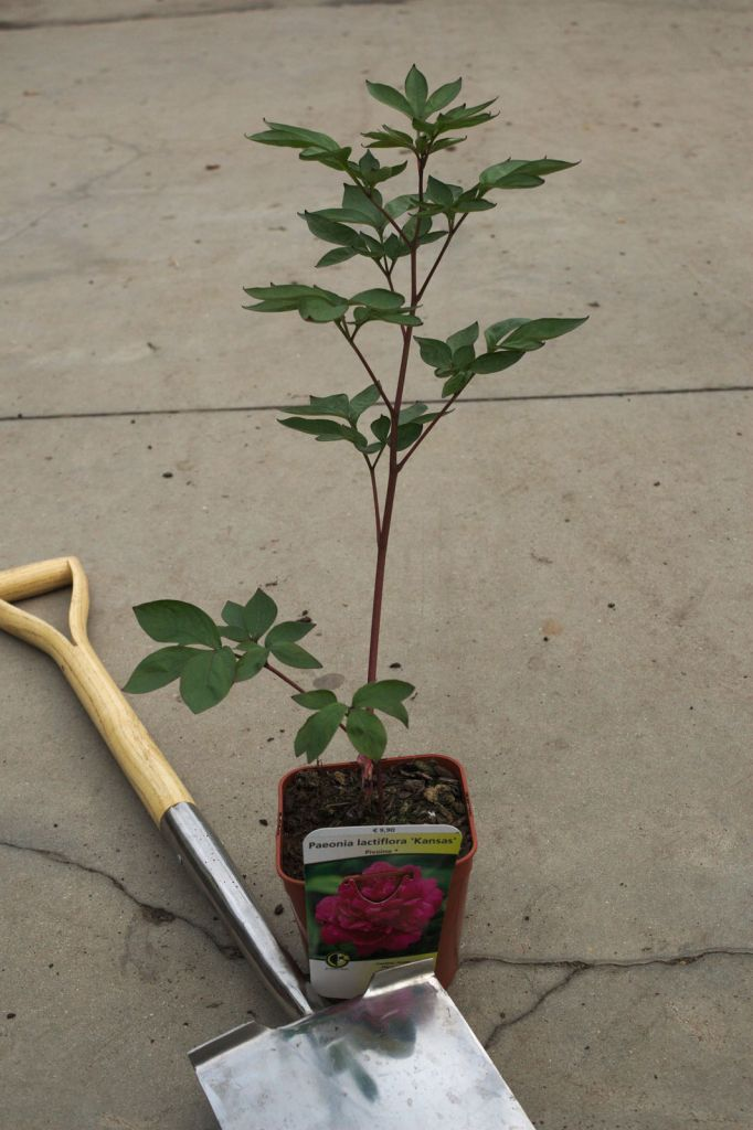 Paeonia lactiflora \' Kansas \'