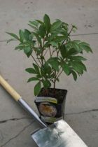 Paeonia lactiflora \' Miss America \'