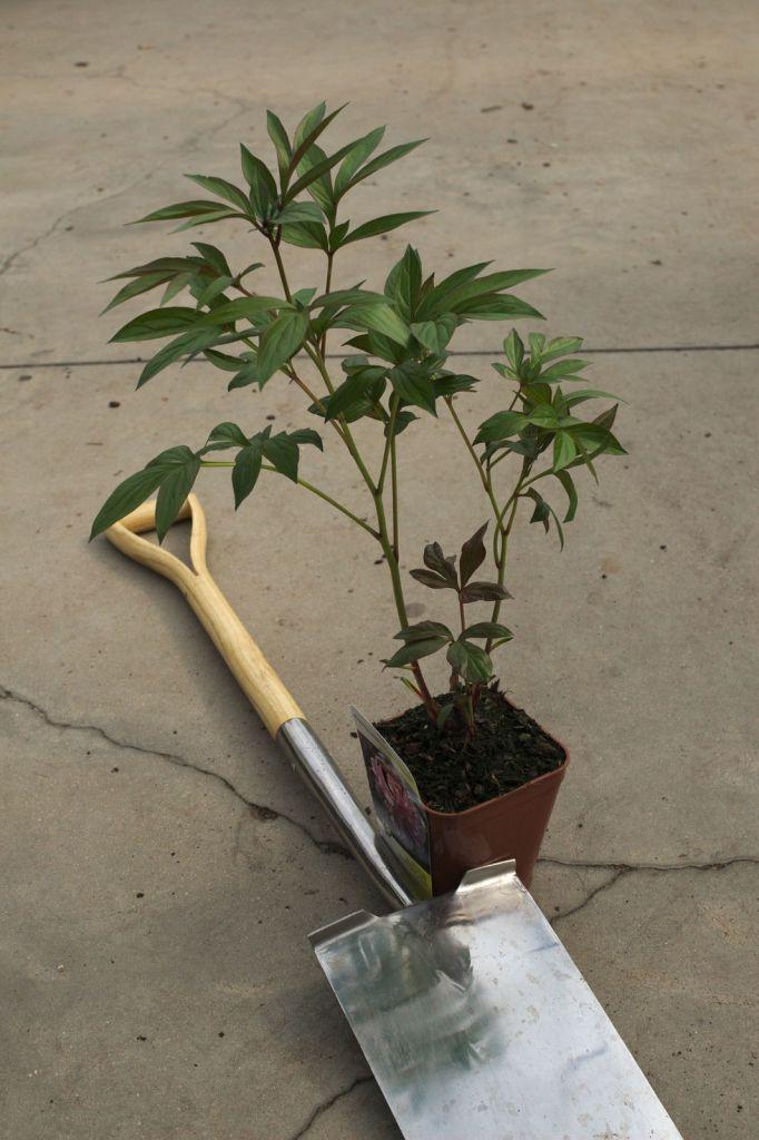 Paeonia lactiflora \' Miss Eckhart \'