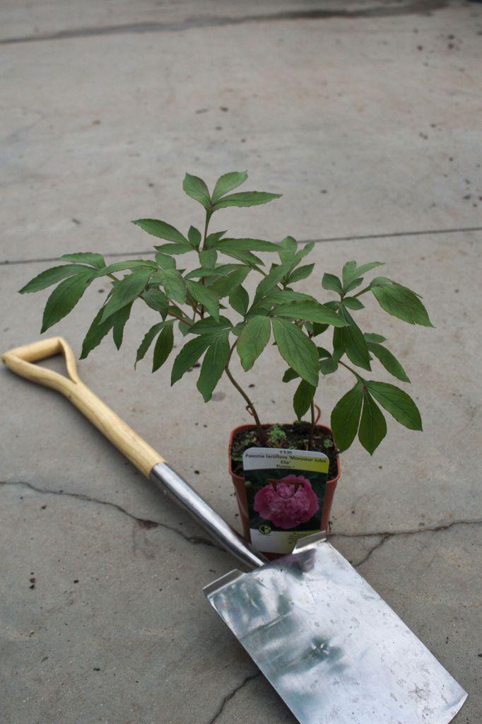 Paeonia lactiflora \' Monsieur Jules Elie \'