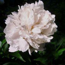 Paeonia lactiflora \' Solange \'