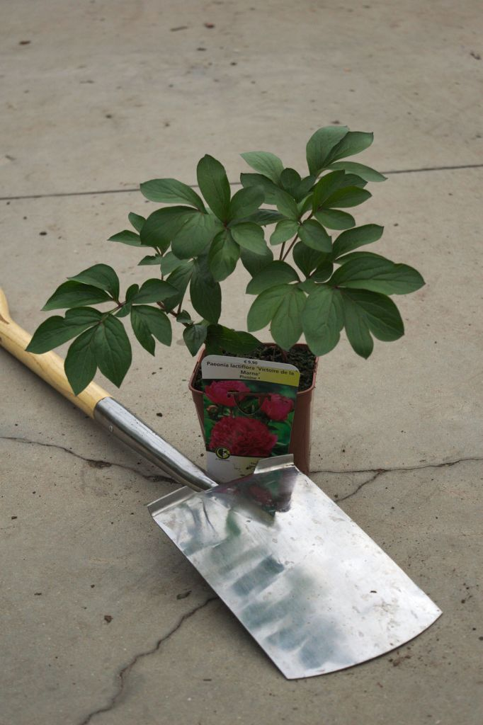 Paeonia lactiflora \' Victoire de la Marne \'