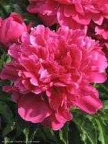 Paeonia lactiflora \' Victoire de la Marne \', vivace à feuille caduc vert clair et aux fleurs rouge framboise clair au printemps.