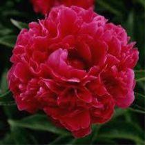 Paeonia lactiflora \'Adolphe Rousseau\'