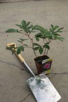 Paeonia lactiflora \'Amabilis \'