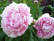 Paeonia lactiflora \'Angel Cheeks\'