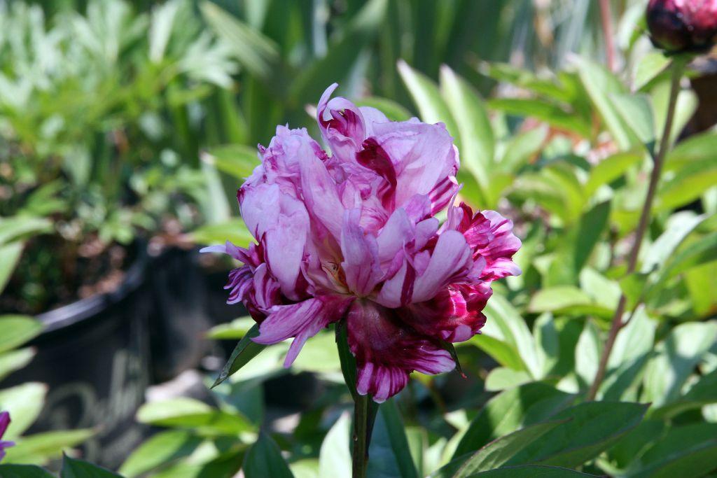 Paeonia lactiflora \'Candy Stripe\'